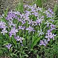Iris cristata, Mark McDonough