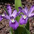 Iris cristata 'Eco Purple Pomp', John Lonsdale