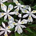 Iris cristata 'McDonald', John Lonsdale