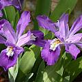 Iris cristata 'Navy Blue Gem', John Lonsdale