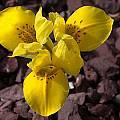 Iris danfordiae, John Lonsdale