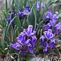 Iris dolichosiphon subsp orientalis, Oron Peri [Shift+click to enlarge, Click to go to wiki entry]