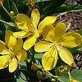 Iris domestica 'Hello Yellow' July 2004, Jay Yourch