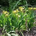 Iris domestica 'Hello Yellow', July 2004, Jay Yourch