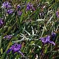 Iris douglasiana, Manchester State Beach, Mary Sue Ittner
