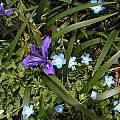 Iris douglasiana, Mary Sue Ittner [Shift+click to enlarge, Click to go to wiki entry]