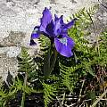 Iris douglasiana, Salt Point State Park, Mary Sue Ittner [Shift+click to enlarge, Click to go to wiki entry]