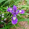 Iris douglasiana x Iris tenax, Kathleen Sayce's garden, photo by Mary Sue Ittner