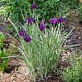 Iris ensata 'Variegata', Jay Yourch [Shift+click to enlarge, Click to go to wiki entry]