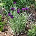 Iris ensata 'Variegata', Jay Yourch