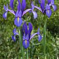 Iris filifolia, Spanish Iris, José Miguel Paneque