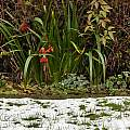 Iris foetidissima 13th December 2014, David Pilling