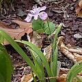 Iris gracilipes, John Lonsdale