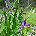 Iris graminea, Oron Peri
