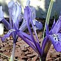 Iris histrioides var. sophenensis, John Lonsdale