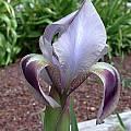 Iris hoogiana 'Bronze Beauty', John Lonsdale