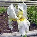 Iris hoogiana 'Alba', John Lonsdale