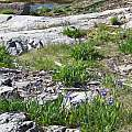 Iris hookeri, habitat, Paul Tavares, iNaturalist, CC BY-NC