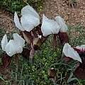 Iris iberica ssp. elegantissima, NE Turkey, Jane McGary
