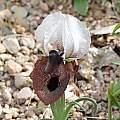 Iris iberica ssp. elegantissima from Irgirdir, Turkey; Bob Nold