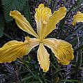 Iris innominata grown from seed, Bob Rutemoeller [Shift+click to enlarge, Click to go to wiki entry]