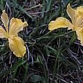 Iris innominata, Mary Sue Ittner
