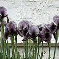 Iris kirkwoodiae, John Lonsdale