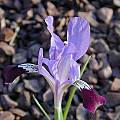 Iris kolpakowskiana, John Lonsdale [Shift+click to enlarge, Click to go to wiki entry]