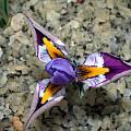 Iris kolpakowskiana, John Lonsdale