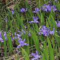 Iris lacustris, Brad Von Blon, iNaturalist, CC BY-NC