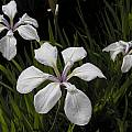 Iris laevigata 'Alboviolacea', Bob Rutemoeller [Shift+click to enlarge, Click to go to wiki entry]