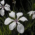 Iris laevigata 'Alboviolacea', Bob Rutemoeller