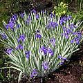 Iris laevigata 'Variegata', Nestor White [Shift+click to enlarge, Click to go to wiki entry]