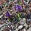 Iris lutescens, dwarf purple form, Colline Livornesi, Tuscany, Italy, Gianluca Corazza