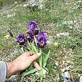 Iris lutescens, individual bearing 3 flowers per stem, Mt. Cetona, Tuscany, Italy, Gianluca Corazza