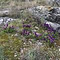 Iris lutescens, large clump, Mt. Moriglion del Penna, Tuscany, Italy, Gianluca Corazza