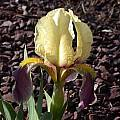 Iris lutescens, John Lonsdale [Shift+click to enlarge, Click to go to wiki entry]