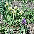 Iris lutescens, Mark McDonough