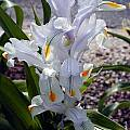 Iris magnifica, John Lonsdale
