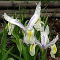 Iris magnifica 'Agalik', Paige Woodward [Shift+click to enlarge, Click to go to wiki entry]