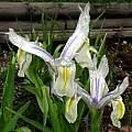 Iris magnifica 'Agalik', Paige Woodward