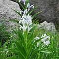 Iris magnifica, Oron Peri