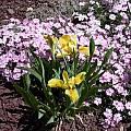 Iris mandschurica, John Lonsdale
