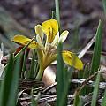 Iris minutoaurea, John Lonsdale