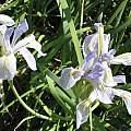 Iris missouriensis, Jim Duggan