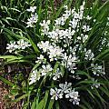 Iris odaesanensis, Mark McDonough
