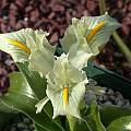 Iris palaestina, John Lonsdale [Shift+click to enlarge, Click to go to wiki entry]