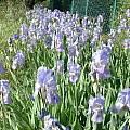 Iris pallida, Angelo Porcelli