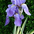 Iris pallida 'Aureovariegata', Jim McKenney [Shift+click to enlarge, Click to go to wiki entry]