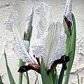 Iris paradoxa forma choschab, John Lonsdale